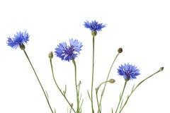 Korenbloemen royalty-vrije stock afbeeldingen