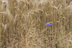 Korenbloemen op een gebied met tarweoren stock fotografie
