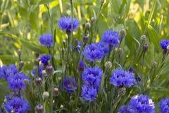 Korenbloemen voor tuin Stock Fotografie