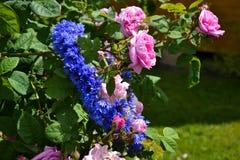 Korenbloemkroon in rozen Stock Foto's