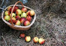 Korg av äpplen Arkivbild