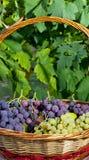 Korg av druvor och fikonträd Fotografering för Bildbyråer
