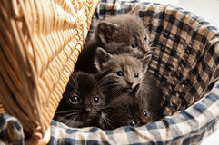 Korg av kattungar arkivbilder