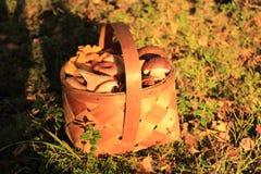 Korg av nya champinjoner i skogen Royaltyfri Fotografi