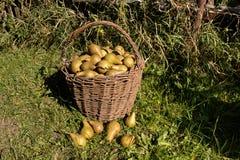 Korg av pears Royaltyfri Bild