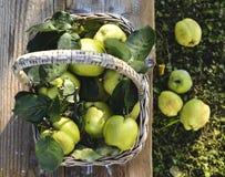 Korg av quinces Arkivfoton