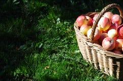 Korg av röda äpplen i trädgården, höst Arkivfoto