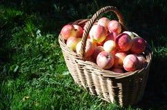 Korg av röda äpplen i trädgården, höst Fotografering för Bildbyråer