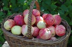 Korg av röda äpplen i trädgården, höst Arkivfoton