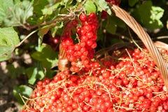 Korg av röda vinbär Royaltyfria Bilder
