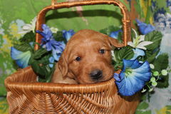 Korg för blomma för tre vecka gammal golden retrieverpuppyin Arkivfoto