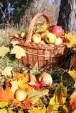 Korg med äpplen Arkivfoton