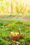 Korg med äpplen Royaltyfri Bild