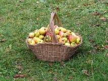 Korg med äpplen Arkivbild