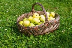 Korg med äpplen på gräs Arkivfoto