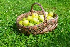 Korg med äpplen på gräs Arkivbilder