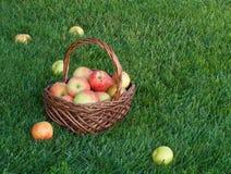 Korg med äpplen på grönt gräs Arkivfoton
