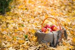 Korg med äpplen på höstsidor i skog Arkivbilder