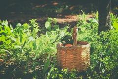 Korg med apelsiner på grönt gräs i solsken retro urblekt stilbild Royaltyfria Foton