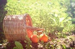 Korg med apelsiner på grönt gräs i solsken retro urblekt stilbild Royaltyfri Fotografi
