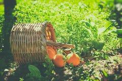 Korg med apelsiner på grönt gräs i solsken retro urblekt stilbild Royaltyfri Foto