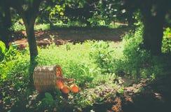Korg med apelsiner på grönt gräs i solsken retro urblekt stilbild Arkivfoto