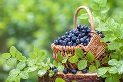 Korg med blåbär på stubbe i skog royaltyfria foton