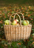 Korg med röda och gula äpplen Royaltyfria Bilder