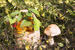 Korg med skogchampinjoner Royaltyfri Foto