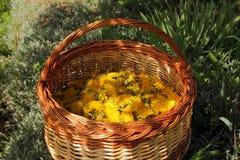 Korg mycket av gula maskrosblommor Royaltyfri Foto