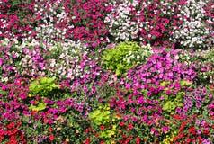 Korgar av hängande petuniablommor på balkong Petuniablomma i dekorativ växt Violetta balkongblommor i krukor Bakgrund från arkivfoton