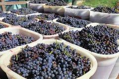 Korgar av winedruvor Arkivbild