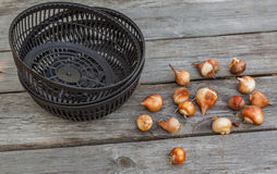 Korgar för att plantera kulor med kulor av tulpan Arkivfoton