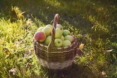 Korgen med äpplen är på gräset Arkivbild