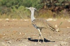 Kori Bustard - άγρια πουλιά από την Αφρική - κάλυψη και χρώμα Στοκ φωτογραφία με δικαίωμα ελεύθερης χρήσης
