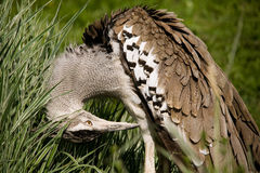 Kori Bustard. Kuro Bustard cleaning his feathers stock image
