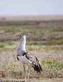 Kori Bustard. Adult kori bustard in the Ngorongoro crater, Tanzania. The kori bustard is widely believed to be the heaviest bird in the world that is still Stock Image