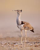 Kori bustard Royalty Free Stock Images