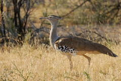 Kori Bustard Stockfotos