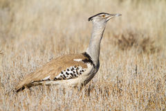Kori Bustard Royalty Free Stock Photography
