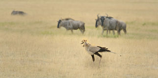 Kori Bustard Royalty Free Stock Photo