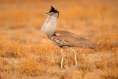 Kori bustard. (Ardeotis kori), Etosha National Park, Namibia Stock Photography