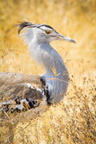 Kori Bustard Stock Photography