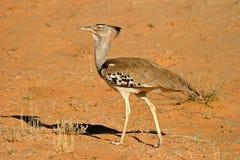 Kori bustard. (Ardeotis kori) - largest flying bird in the world, Kalahari desert, South Africa Stock Photography