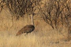 Kori Bustard. (Ardeotis kori) in the Etosha National Park, Namibia royalty free stock photo