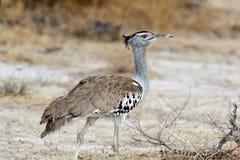 Kori Bustard in african bush. Etosha national Park, Namibia, Africa Royalty Free Stock Photography