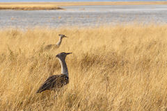 Kori Bustard in african bush Royalty Free Stock Images