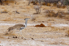 Kori Bustard in african bush Royalty Free Stock Photos