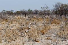 Kori Bustard in african bush Stock Images
