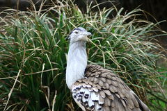 Kori Bustard (Ardeotis kori) Royalty Free Stock Photo